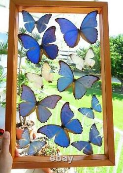 11 Real Framed Butterflies Blue Morpho Double Glass 21x13 Inches