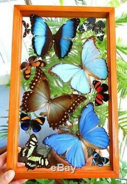 11 Real Framed Butterflies Blue Morpho Dudius Double Glass 15.5x9.5 Inches