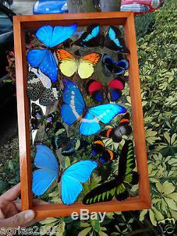 12 Real Butterflies Frame. M. Helena. See Thru. Double Glass. Mounted. Peru4