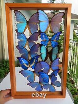 12 Real Framed Butterflies Blue Morpho Double Glass 21x13 Inches
