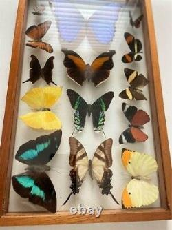 14 Butterfly Framed Taxidermy Double Glass Wall Display Case