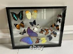 17 Taxidermy Butterflies Framed With Double Glass Approx 15.5x12.5 in