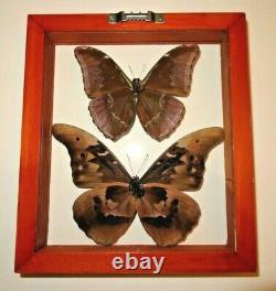 2 Real Framed Butterfly Blue Morpho Cacica & M. Absoloni Mounted Double Glass