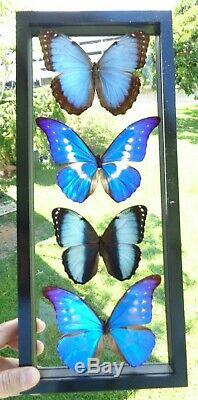 4 Real Butterflies Framed Blue Morpho Collection Mounted Double Glass 6.5x15.5