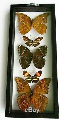 5 Real Butterflies Framed Blue Morpho Collection Mounted Double Glass 6.5x15.5