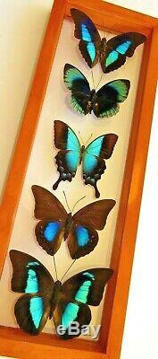 5 Real Framed Butterflies Double Glass Special Collection Butterflies #6