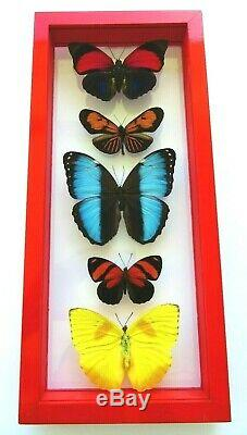 5 Real Framed Butterflies Size 5.5x13inches Double Glass Amazing Butterflies