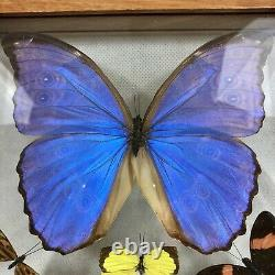 7 Real Butterflies Framed Double Glass Large Show Size Blue Morpho Made in Peru