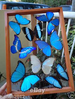 8 REAL BUTTERFLIES FRAME8 MORPHIDAE. SEE THRU. DOUBLE GLASS. MOUNTED. PERU3