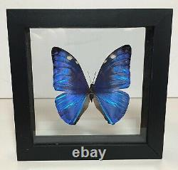 Blue Morpho Madagascar Butterfly Duo Double Glass Black Frame