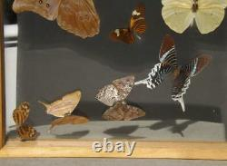 Butterfly Framed Display 12x15 Double Glass 12 Species 5.5 Morpho Taxidermy