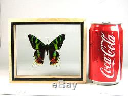 Cool 3 Butterfly Set Taxidermy Display in Double Side Glass Frame Gift gphsy #1