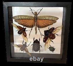Double Glass 6 Real Insects from Peru Rain Forest Black Wood Frame
