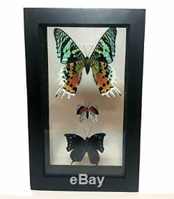 Framed BUTTERFLY TAXIDERMY TRIO Real butterflies under Glass double