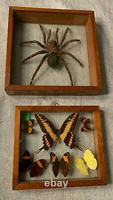 Huge 7 Tarantula & Butterfly Collection In Double-glass Frames! Vintage Ecuador