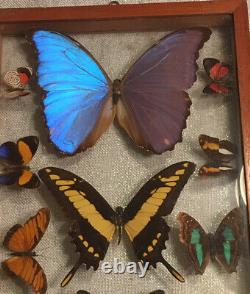 Large BUTTERFLY COLLECTION IN DOUBLE-GLASS FRAME! VINTAGE ECUADOR Piece! Morpho
