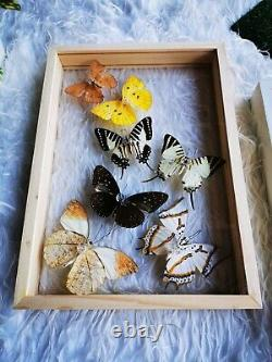 Mix Real Beautiful Butterfly Taxidermy Insect Display Double Acrylic Glass Frame