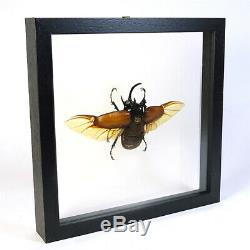 Real taxidermy insect mounted in double glass frame Eupatorus gracilicornis