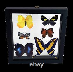 Six 3D Rain Forest Taxidermy Butterflies In Double Glass Shadow Box Frame
