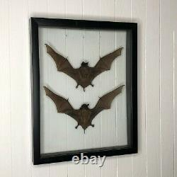 Taxidermy Bats in Double Glass Black Frame