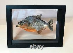 Taxidermy Piranha Real Fish Under Glass Double sided, stand alone Frame